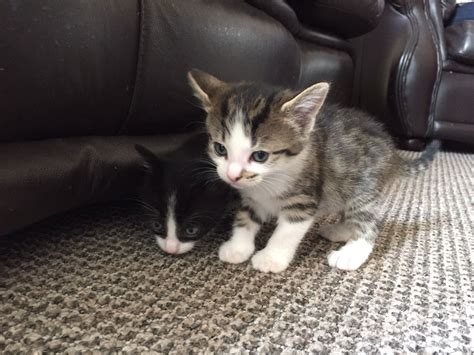 cats for adoption kittens for adoption available now st helens merseyside