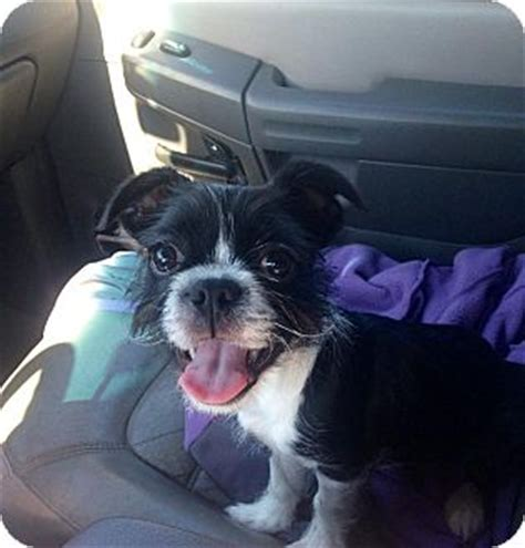 boston terrier and shih tzu shelbyville ky boston terrier shih tzu mix meet zoey a puppy for adoption