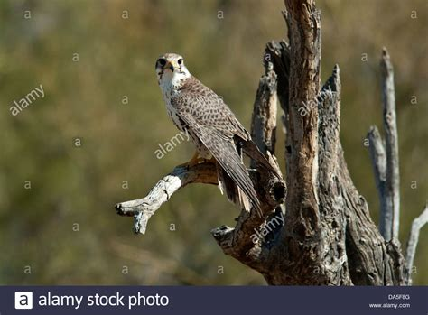 Prairie Falcon Falco Mexicanus Arizona Bird Usa
