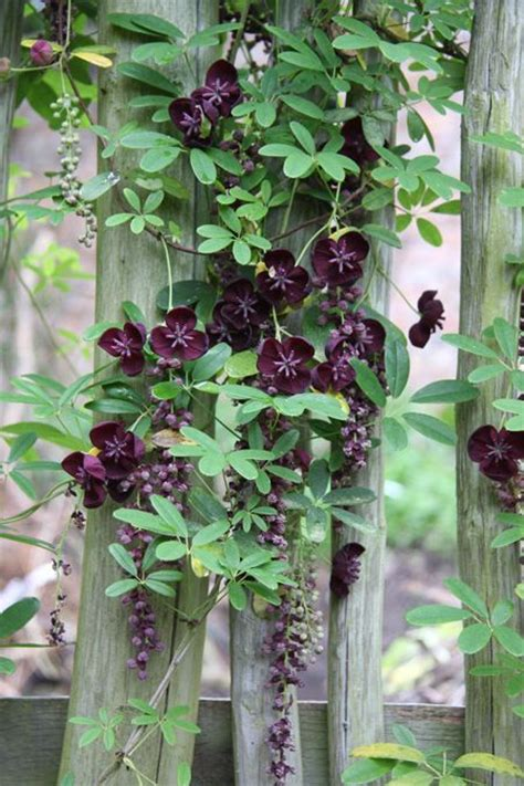climbing plants for shade in pots best 25 evergreen ideas on sun shrubs