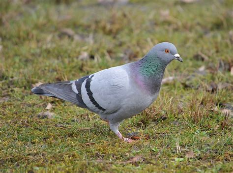 rock dove columba livia blue bar form flickr photo