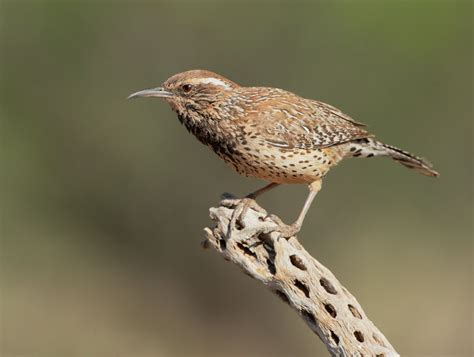 arizona bird cactus wren 2017 2018 best cars reviews