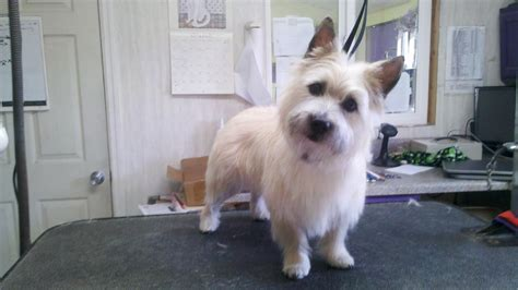 is it ok to cut a cairn terrieris har short then re grow it cairn terrier haircut photos newhairstylesformen2014 com