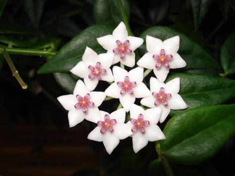 imagenes de flores jasmin fotos gratis p 233 talo bot 225 nica flora flor blanca