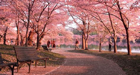 cherry blossom festival dc facts about washington dc s cherry blossom festival