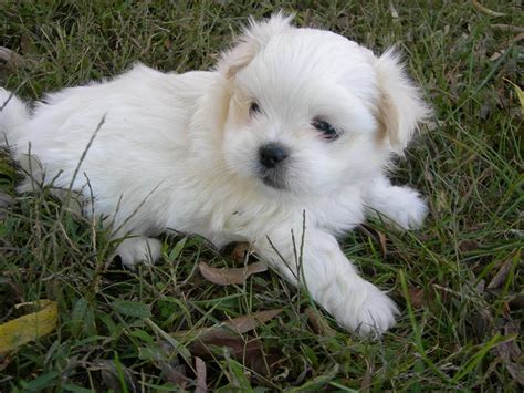 small mixed breed puppies for sale small mixed breed puppies for sale in wi breeds picture