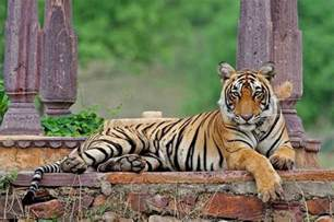 Essay On Tigers In India by National Animal Of India Royal Bengal Tiger An Essay