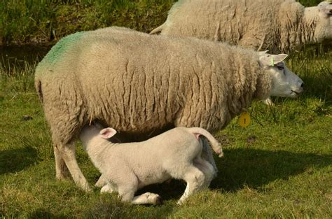 fotos animales mamiferos foto gratis animal mam 237 feros oveja cordero imagen