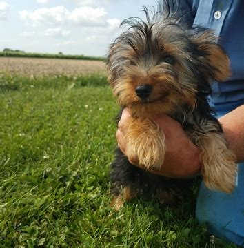 yorkie puppies for sale in il view ad terrier puppy for sale illinois arthur usa