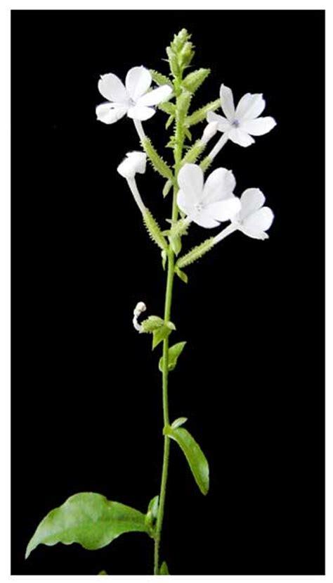 Plumbago Zeylanica Daun Encok Bama Ki Godong Kareka Oporio sangdikit plumbago zeylanica lead wort philippine medicinal herbs philippine