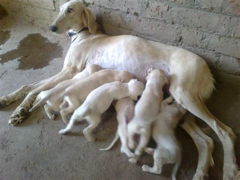 saluki puppy saluki puppies for sale mahesh mane 1 10588 dogs for sale price of puppies