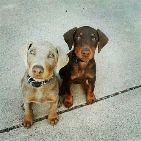 brown doberman puppies 25 best ideas about chocolate doberman on doberman pinscher puppy