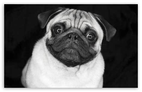 black and white pug pug in black and white 4k hd desktop wallpaper for 4k ultra hd tv tablet