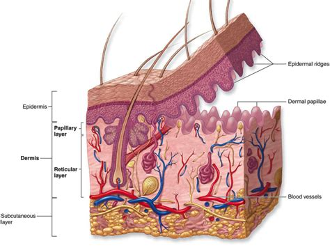 diagram of the dermis the uppermost region of the dermis consists of finger like