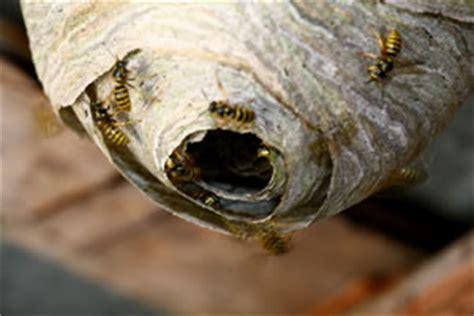 Wie Beseitigt Ein Wespennest 5921 by Wespenbek 228 Mpfung Hausmittel Und Wespengift Gegen Nester
