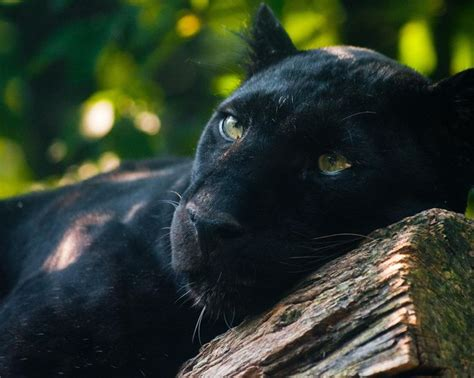 images  panthers  pinterest black jaguar