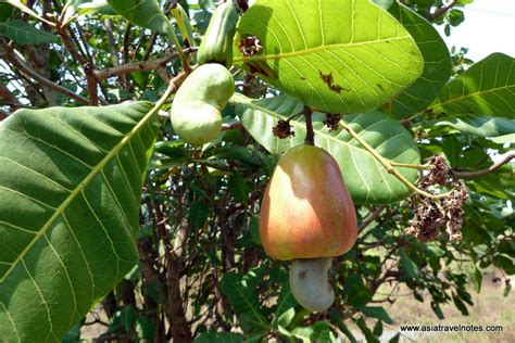 cashew nut fruit tree easy rider tour experience part 2 171 asia