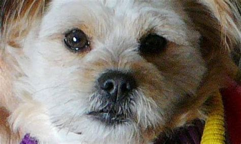 lost dogs mn service stolen outside st paul gas station 171 cbs minnesota