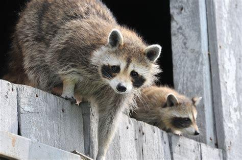 raccoons   identify   rid  raccoons