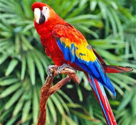 parrot endangered animals facts wildlife pictures