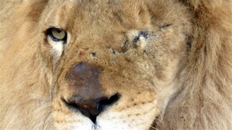 lions home 33 rescued circus lions getting a new home