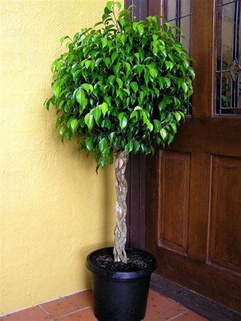 ficus benjamina potted tree plantas arbustos ficus