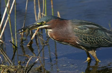 bill hubick photography green heron butorides virescens