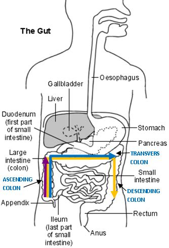 diagram of the intestines belly to assist in the relief of constipation