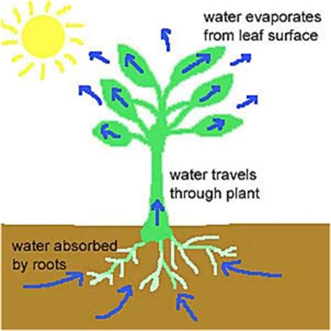 pattern formation in plants flowchart discoveringmonsters 2 transpiration