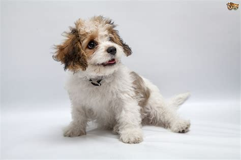 cavachon puppies cavachon breed information buying advice photos and facts pets4homes