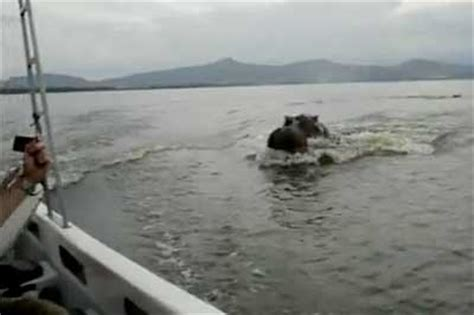 hippopotamus chasing a boat hippo chases motorboat motor boat yachting