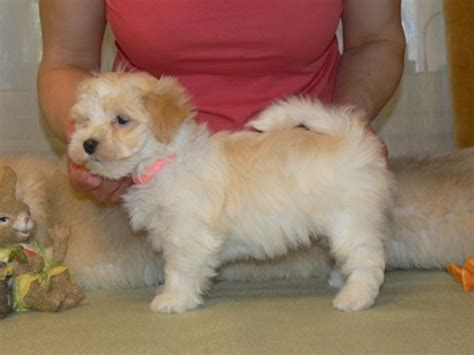 havanese puppies for adoption 301 moved permanently