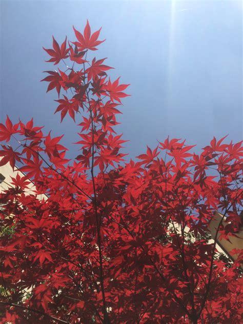 Piante Dalle Foglie Rosse il di yougardener 14 piante dalle foglie rosse