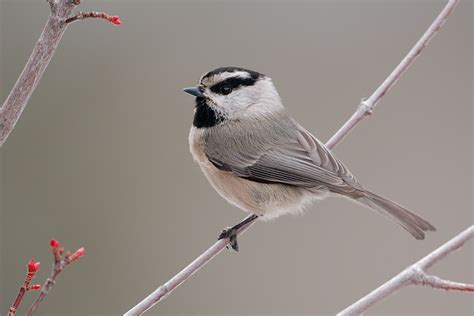 mountain chickadee 9