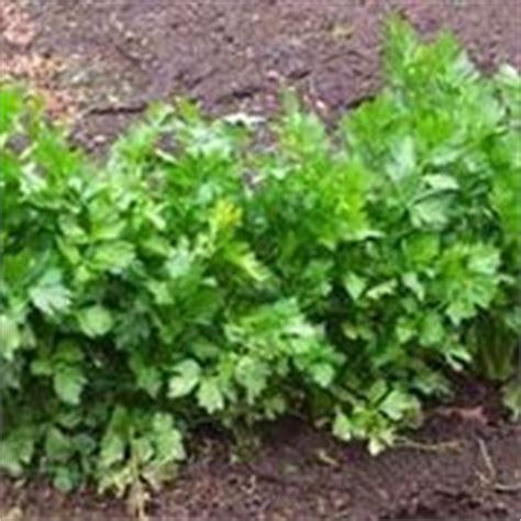 coltivazione sedano orto