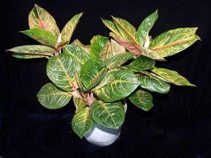 Tanaman Hias Aglonema Big Apel 13 jenis tanaman hias daun aglaonema paling cantik tanah kaya