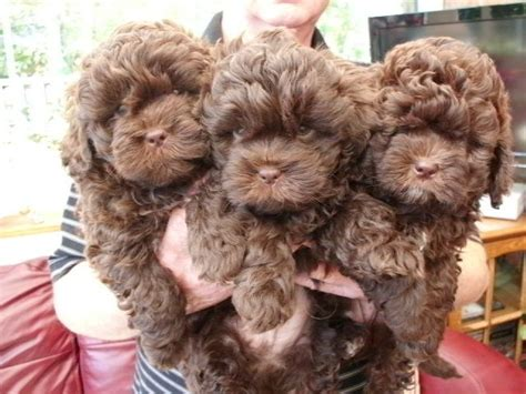 miniature poodle cross shih tzu shih tzu miniature poodle cross puppies for sale alfreton derbyshire pets4homes