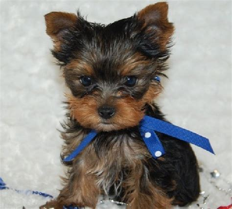 tiny yorkie haircuts teddy bear yorkie haircut teacup yorkie puppies