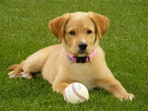 pitcher  dogs