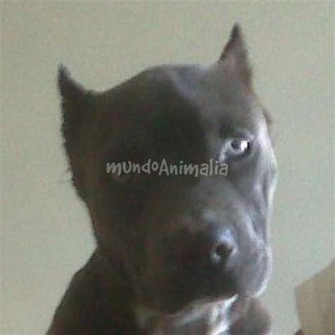 corte de orejas pitbull cortes de orejas pitbull blue imagui