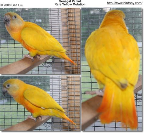 quaker color senegal parrots aka yellow vented parrots reproduction