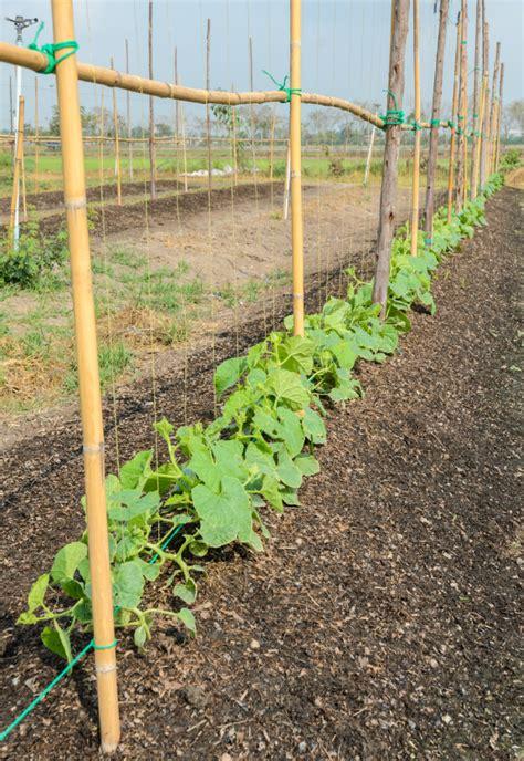 melonen im garten melonen pflanzen 187 so gelingt der anbau im garten