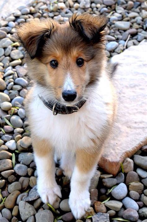 shetland sheepdog puppies 10 reasons why you should never own shetland sheepdogs