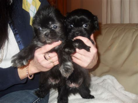 black shih tzu puppies for sale 2 black boy shih tzu puppies for sale cheltenham gloucestershire pets4homes