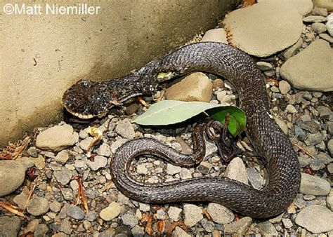 Garden Snake Tennessee Tennessee Watchable Wildlife Eastern Hog Nosed Snake