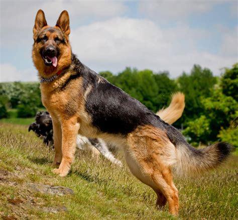 belgian shepherd texas breeders pics photos classic german shepherd pose find a german