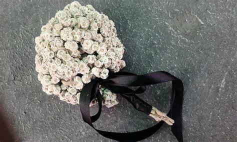 merawat bunga edelweiss  langka tanaman hias