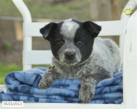blue heeler puppies for sale in pa fido blue heeler puppy for sale in rebersberg pa blue heeler puppy for sale