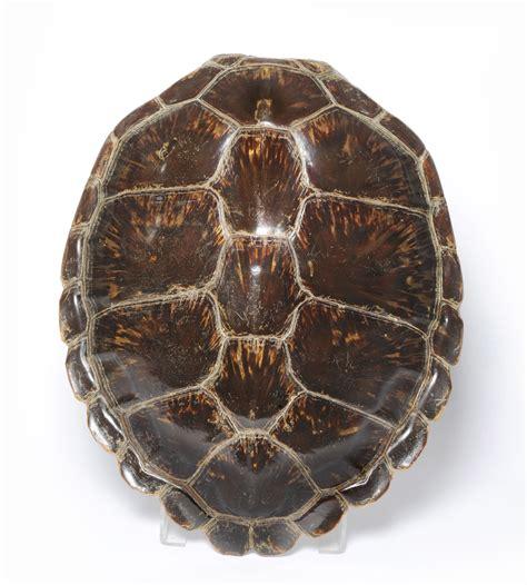 tennants auctioneers green turtle shell chelonia mydas