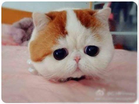 Harga Makanan Kelinci Himalayan jenis jenis kucing paling digemari catlovers